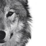 Photoblock | Wolf_
